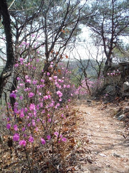 청량산 진달래에 흠뻑 취해 꽃멀미가 나고.