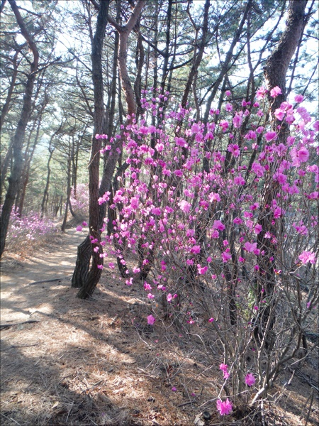 청량산 진달래 꽃길을 걸으며 내 마음밭도 연분홍 색깔로 물들어 가고.