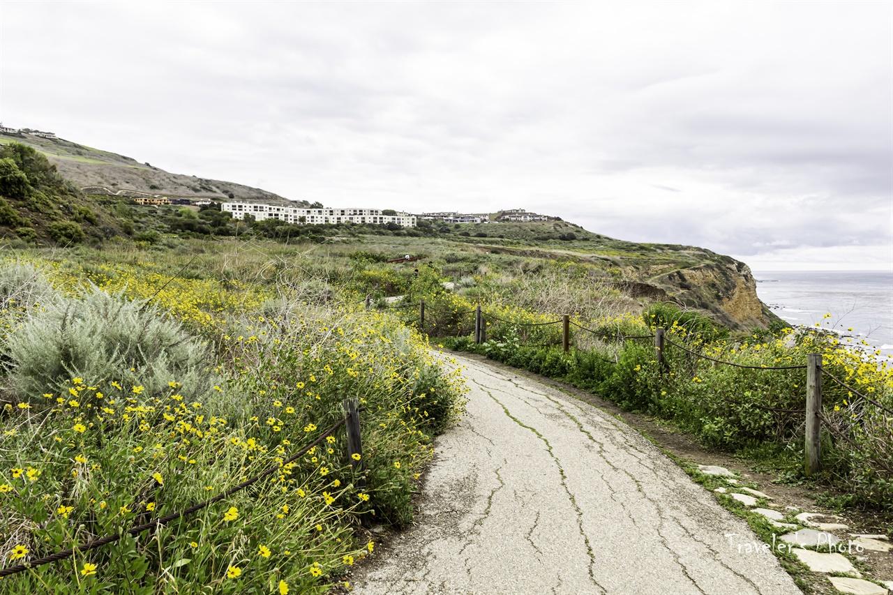 토박이의 위용 캘리포니아 토박이 식물인 '캘리포니아 해바라기'가 흐드러졌다.
