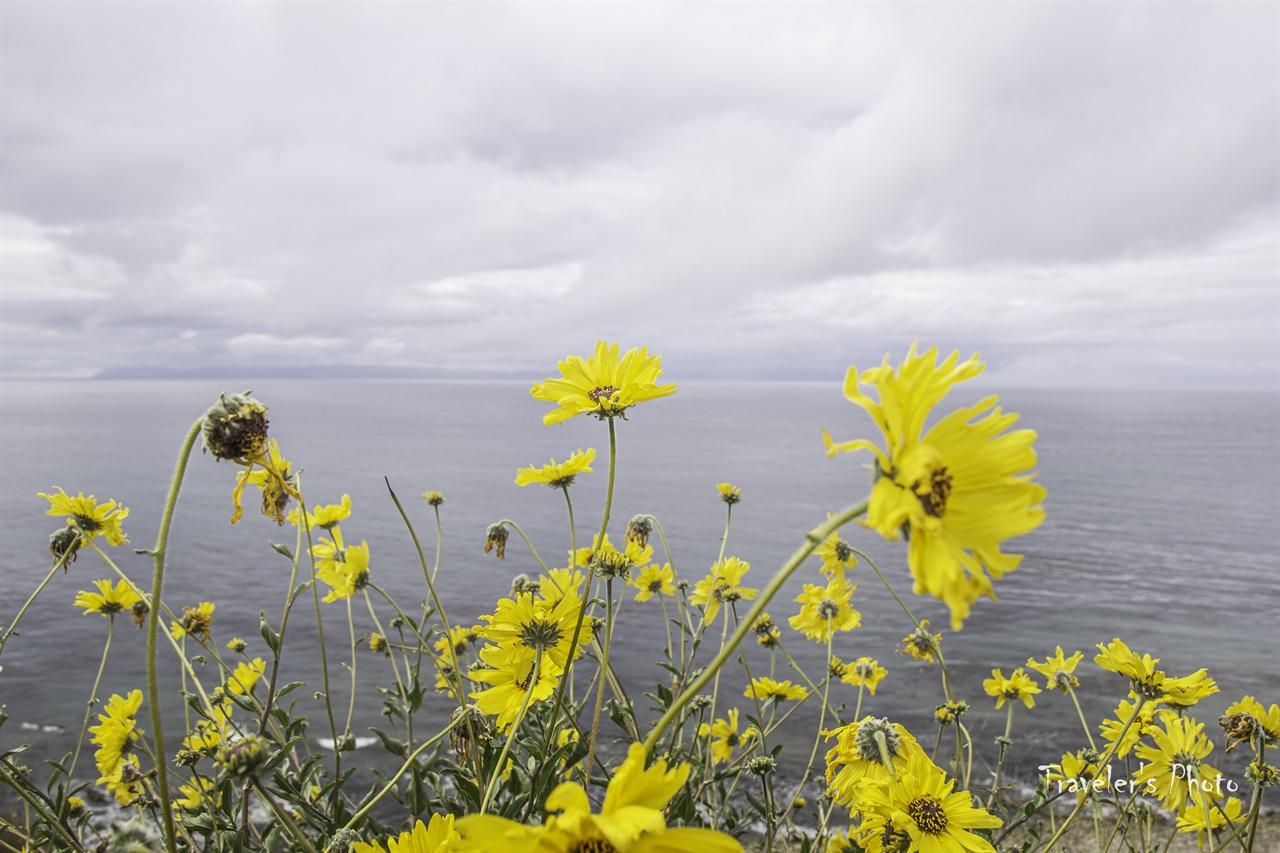 캘리포니아 해바라기 바닷가에 핀 해바라기가 노랗게 하늘거린다.