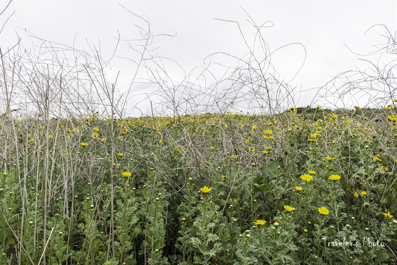 쑥갓 꽃이 피었습니다 해마다 영역을 넓히는 쑥갓의 기세가 무섭다.