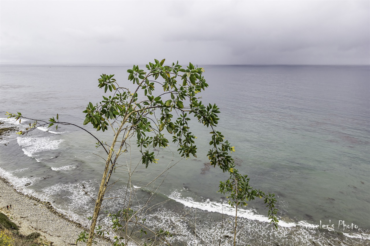 담배 나무(Tree Tobacco) 태평양 연안에 간간히 보이는 담배나무, 담배 꽃도 의외로 예쁘다.