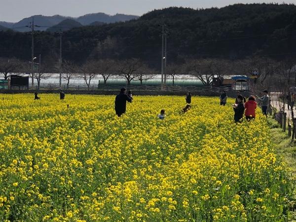 맹방 유채꽃 축제장 맹방 유채꽃 축제가 전격 취소된 가운데 평일임에도 불구하고 많은 상춘객들이 유채꽃밭을 찾아 봄을 즐기고 있다.