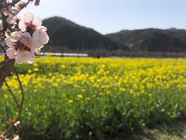 맹방 유채꽃 축제 맹방 유채꽃 축제장에 벚꽃과 함께 유채꽃이 피어있다.