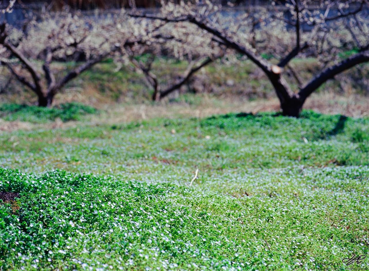 봄까치꽃 매화밭에 가득 핀 봄까치꽃.