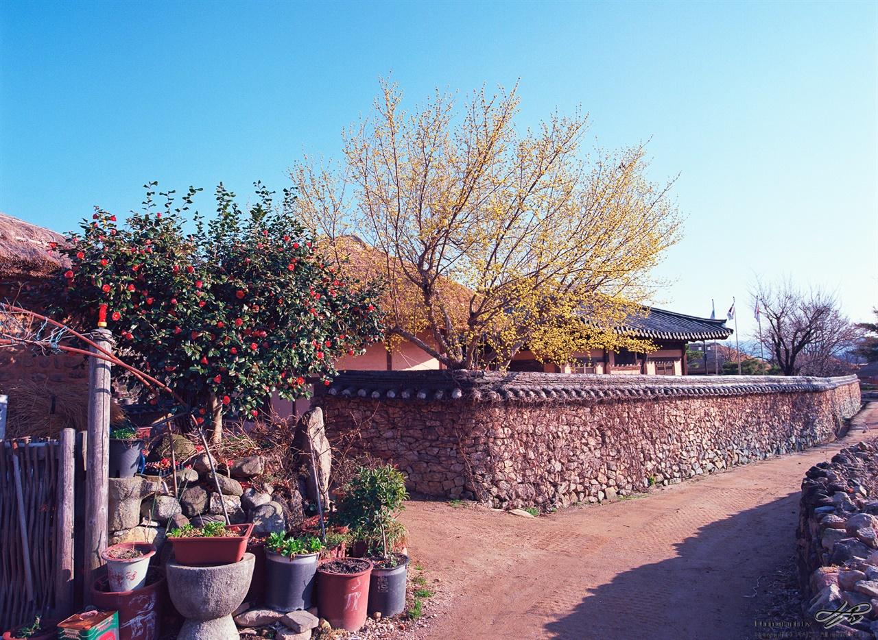 동백과 산수유 하트 모양 동백나무, 파란 하늘을 배경으로 더욱 노란 산수유. 오태석 생가는 사진 바깥 왼편에 있다.