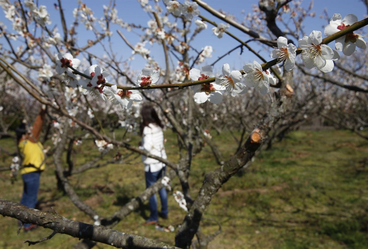 전남산림자원연구소의 매화밭에서 코로나19를 피해 나온 여행객이 매화를 감상하고 있다. 지난 3월 19일이다.