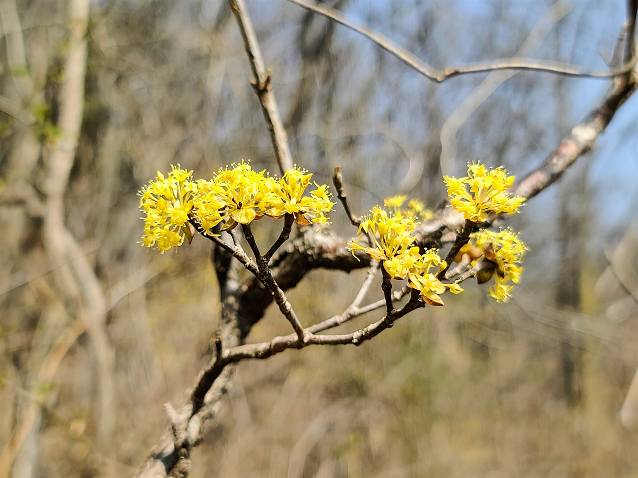 산수유꽃길에 핀 노란 산수유꽃