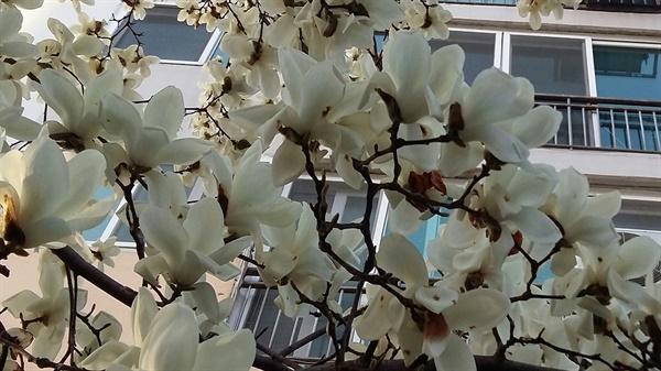아파트 베란다 창문 앞에서 며칠째 탱탱하게 꽃봉오리를 앙다물고 있던 목련이 하룻밤 사이에 마치 폭죽이 터지듯이 피어났다