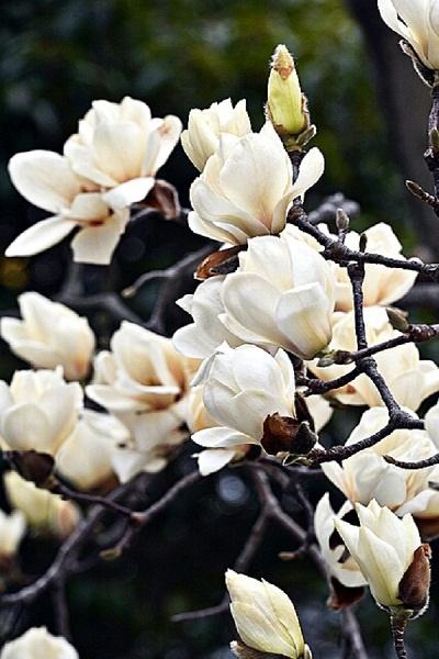봄을 대표하는 봄꽃의 귀족, 목련(木蓮). 이른 봄 하얗게 피는 꽃이 마치 '나무에서 피는 연(蓮)' 같다고 해서 붙여진 이름이다