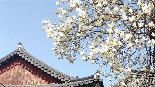 목련 꽃봉오리는 북쪽을 향하고 있어 '북향화(北向花)'라고도 한다