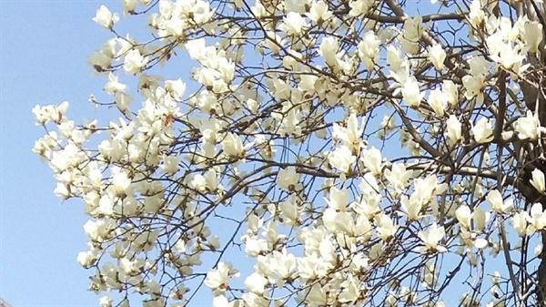 새하얗고 커다란 꽃잎은 결코 화려함을 내세우지 않기에 고결한 기품이 돋보인다