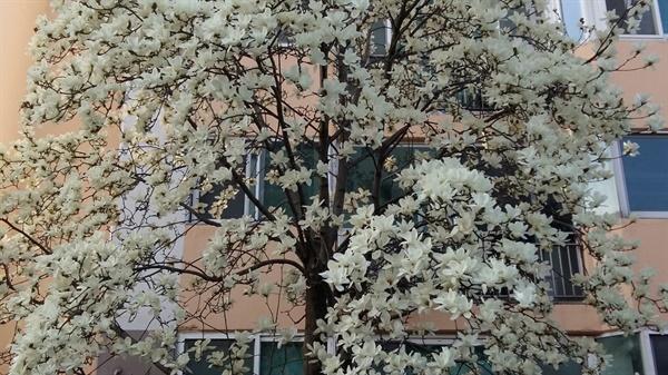 유백색의 하얀 꽃잎이 창문 앞을 환히 밝히고 봄바람에 은은히 풍겨오는 꽃내음이 집안에 가득 퍼질 때 행복감은 극치에 이른다