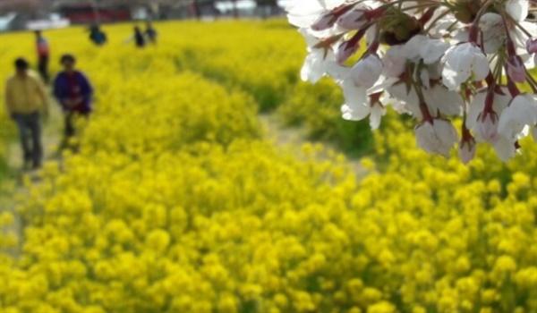 맹방 벚꽃터널과 유채꽃밭 지난 주말 이른 벚꽃이 개화한 가운데 관광객이 유채꽃밭을 걷고있다.