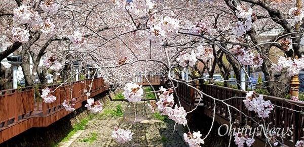 3월 24일 창원진해 여좌천 벚꽃.