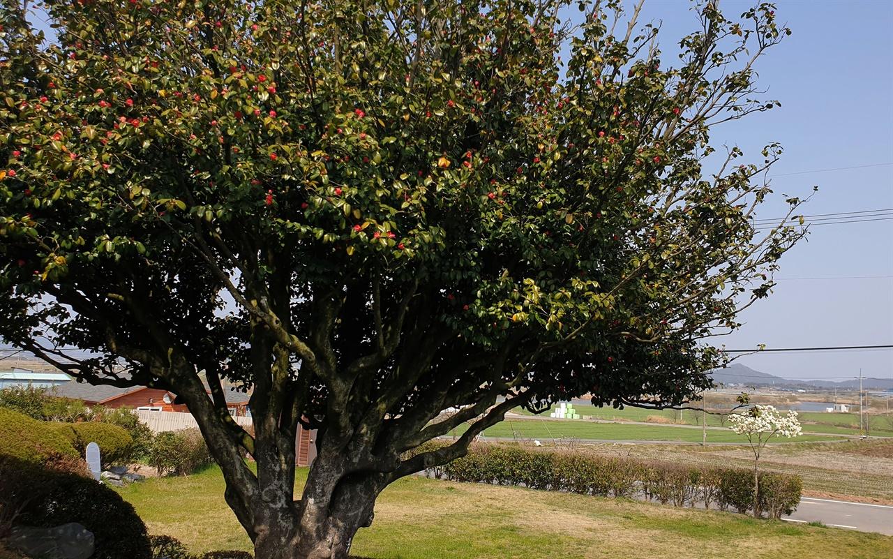 천연기념물로 지정된 나주 금사정의 동백나무. 뿌리 부분의 둘레가 2.4m에 이른다. 나뭇가지도 사방으로 고르게 펼치고 있다.