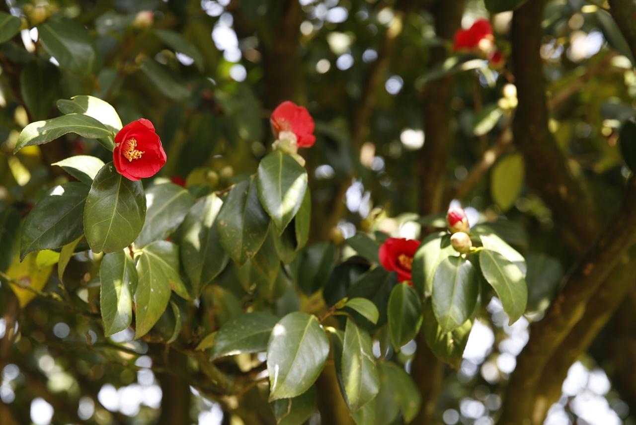나주 금사정 앞 동백나무. 진녹색 이파리 사이에서 빨갛게 피어난 꽃이 유난히 시선을 오래 붙잡는다.
