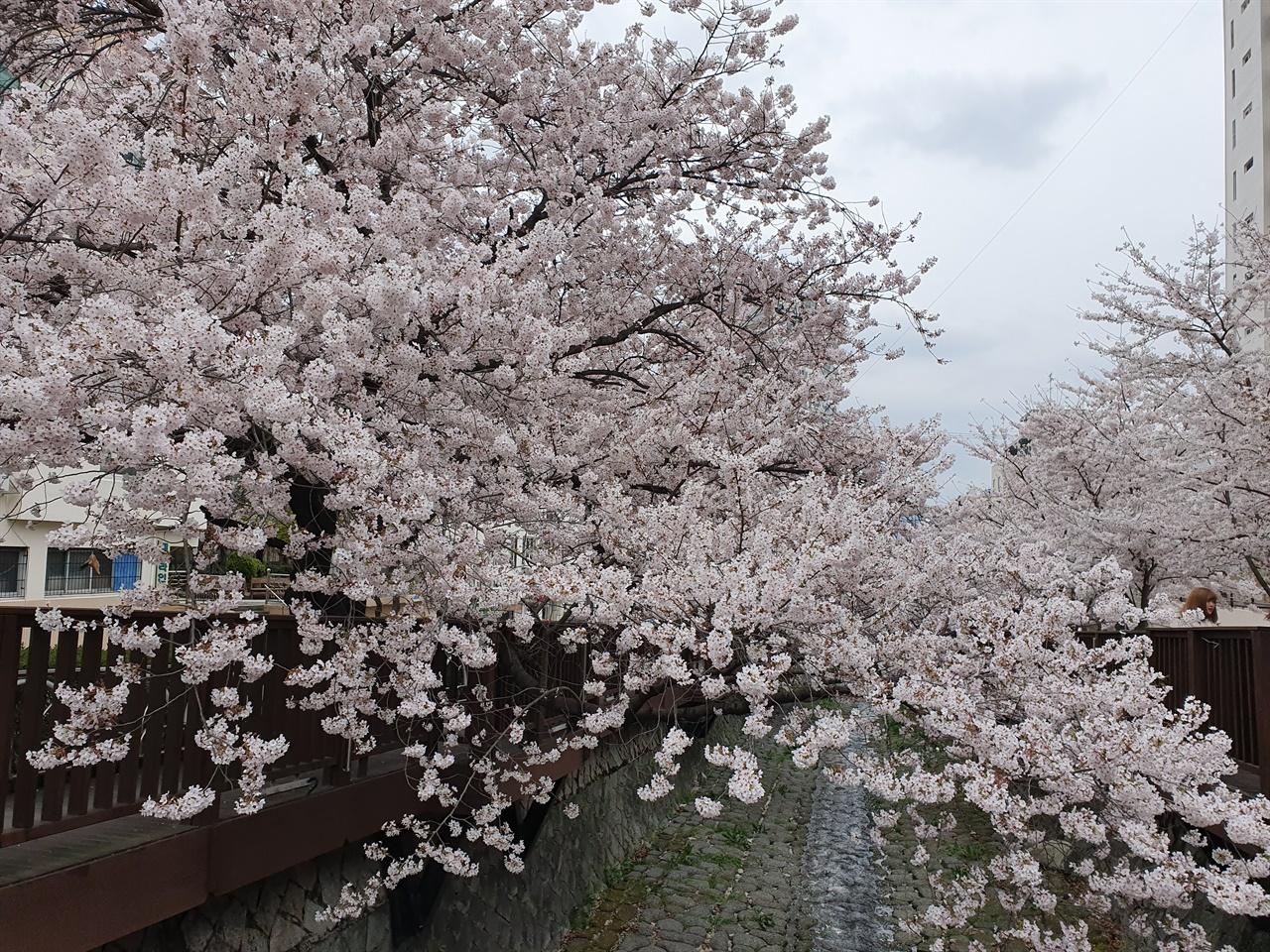 집앞 냇가 양쪽으로 길게 줄지어선 벚나무에 꽃이 활짝 피었다. 사람이 없을 때는 잠시 내려가서 따스운 봄햇볕도 쬐고 꽃에 대한 갈증을 얼마간 풀기도 한다.