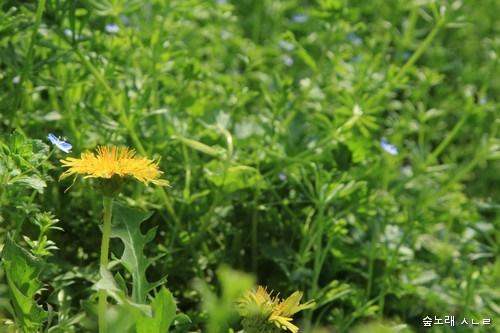 꽃받침이 꽃을 감싼 노란민들레는 보기 어렵습니다. 노랑이라 해서 다 같은 노랑이가 아닌데, 다 다른 아이들 다 다른 고운 빛을 마주하는 어른이 늘어나면 좋겠습니다.
