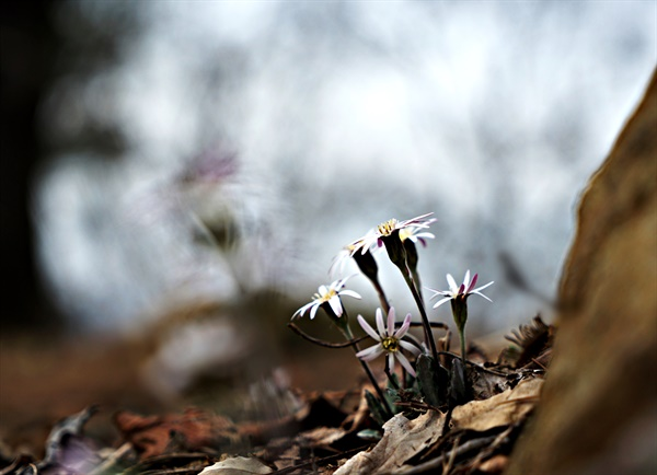 보문산에서 만난 솜나물꽃