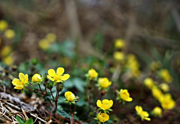 보문산에서 만난 양지꽃