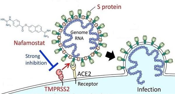 나파모스탯(Nafamostat)이 코로나 바이러스의 세포 감염을 억제하는 원리. 바이러스의 S단백질(S protein)이 사람 세포의 ACE2 수용체에 달라붙는 과정에서 TMPRSS2라는 생체효소의 도움을 받아야 바이러스의 유전물질이 사람 세포 내로 침투할 수 있는데, 나파모스탯은 TMPRSS2가 제 역할을 못하게 함으로써 코로나 바이러스의 침투를 막을 수 있다.