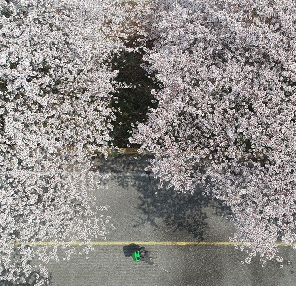 함양군 병곡면 50리 벚꽃길.