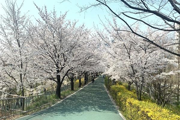 2일 강남구 영동5교에서 바라본 양재천 모습. 올해는 이 벚꽃 모습을 가까이에서 직접 볼 수 없게 됐다.