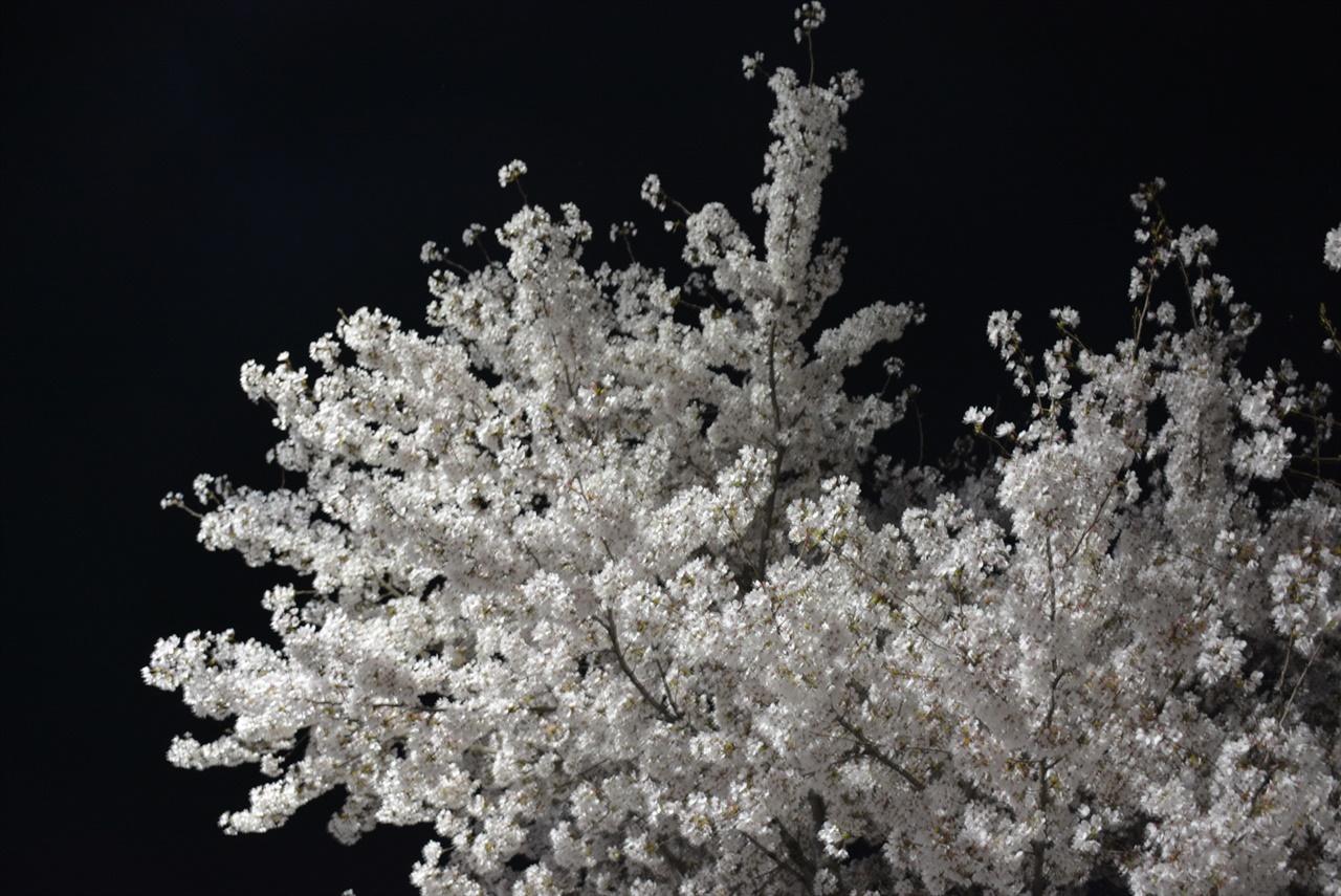 밤하늘을 벚꽃잎이 수놓고 있다