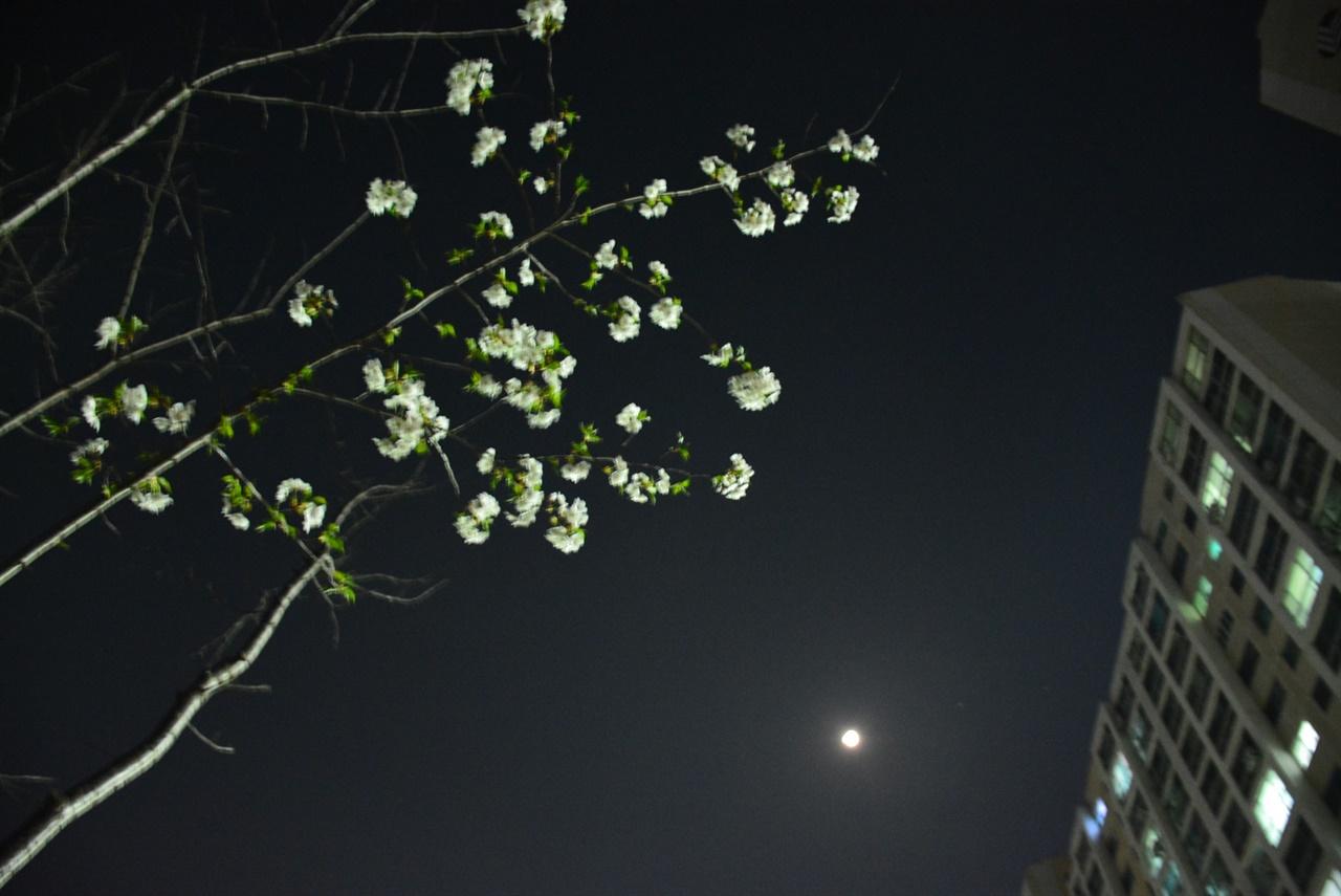 달과 가로등이 벚꽃나무를 비추고 있다