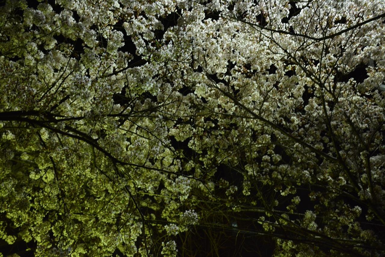 하늘로 올려다 본 벚꽃 나무 두 그루