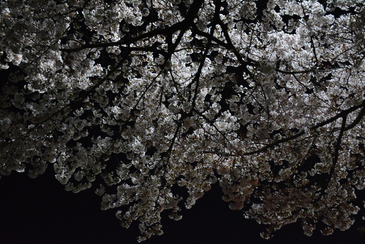 늦은 밤이면 벚꽃나무가 속삭이는 소리를 더 잘 들을 수 있다