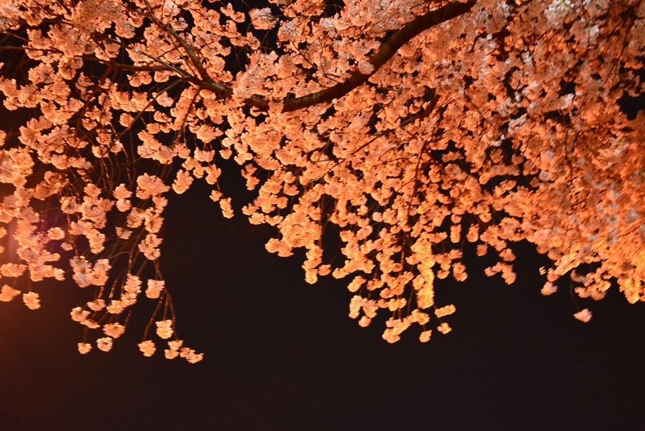 가로등의 세례를 받은 벚꽃 나무 한 그루