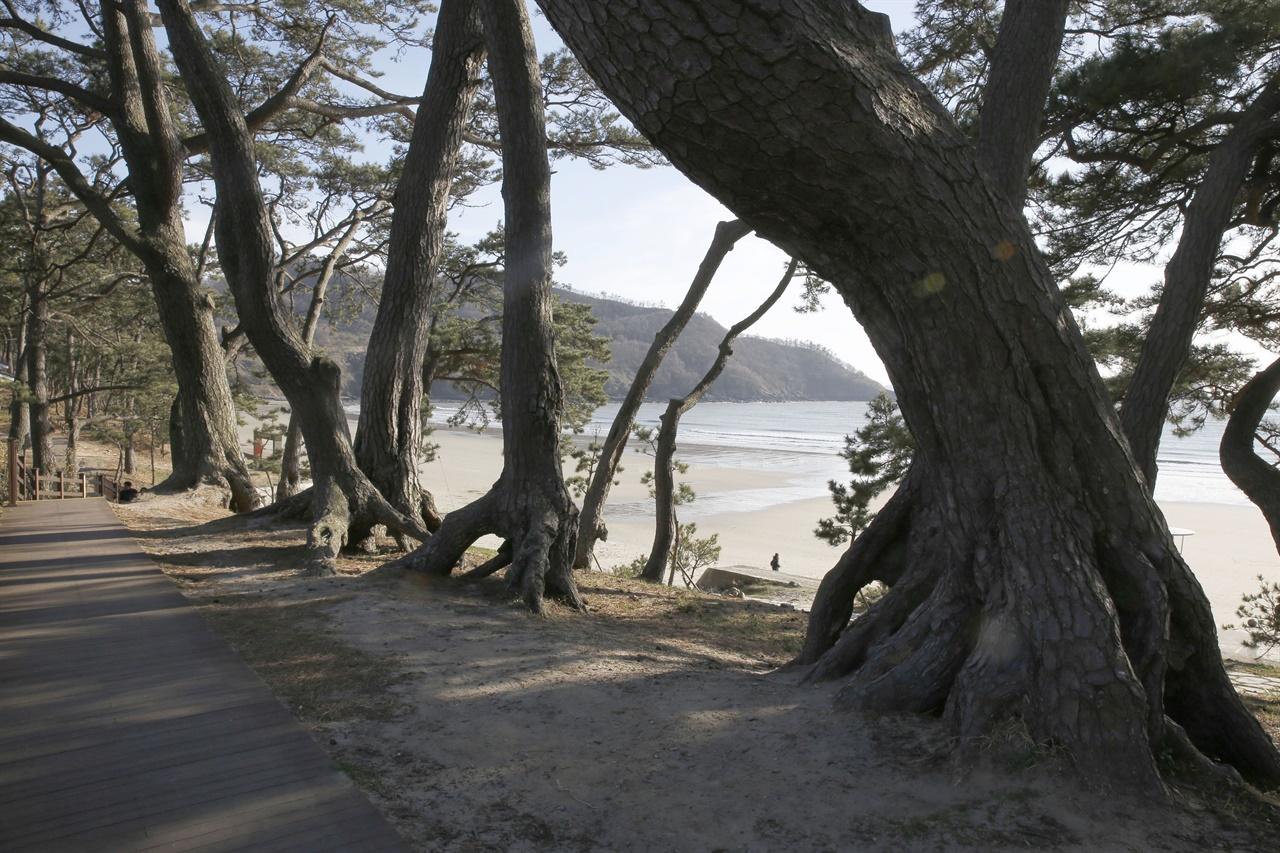 신안 분계해변의 노송 숲. 해변을 배경으로 소나무가 줄지어 서 있다. 오래 전에 방풍림으로 조성된 숲이다.