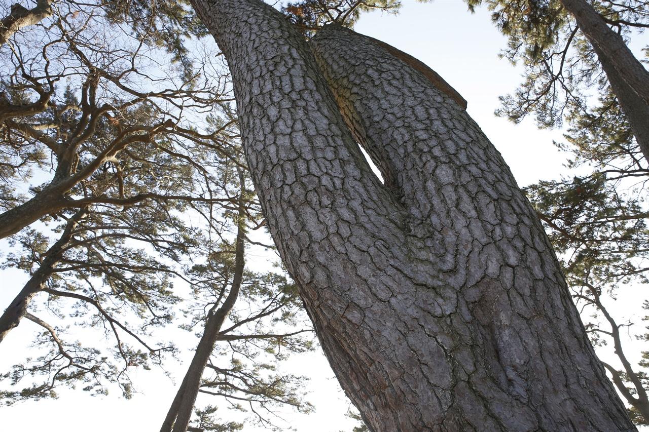 신안 분계해변에 있는 여인송. 소나무가 거꾸로 서 있는 여인의 자태를 하고 있다.