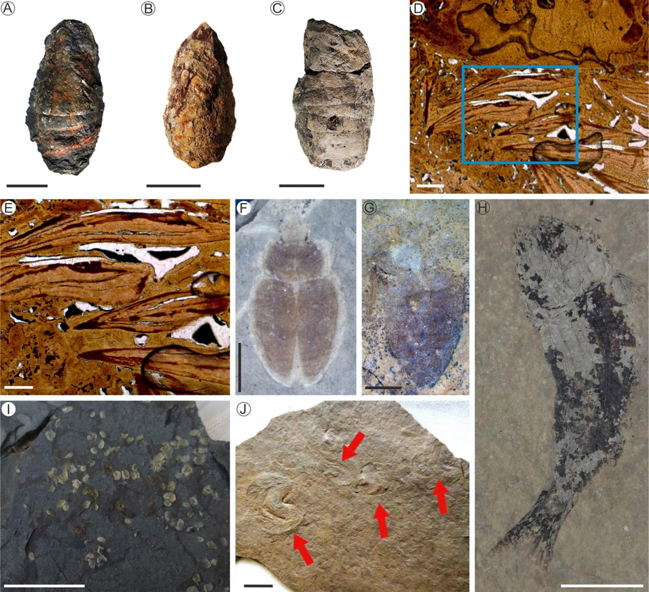 페름기 대멸종 사건과 생태계 회복을 보여주는 화석들. 사진 A,B,C는 물고기의 분변. D,E는 현미경으로 본 물고기 분변의 단면. F,G 는 풍뎅이,  H는 물고기, I,J는 새우 화석이다.
