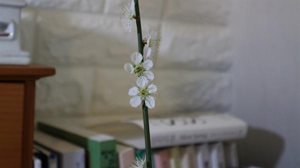 잘라낸 가지에서 핀 매화 가지치기 한 매화에서 꽃이 피었다.