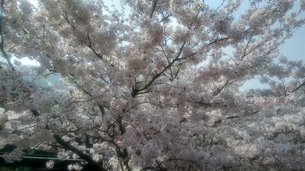 옥상 벚꽃 옥상 옆 벚나무에서 꽃이 피었다