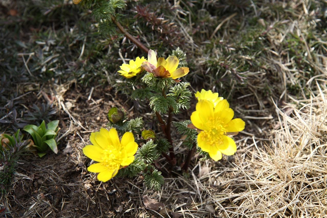 복수초                                                     눈 속에서 피는  복수초는 봄의 전령사와 같은 꽃이다.