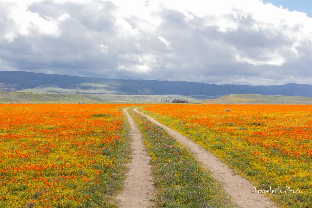 들길 따라서 들녘을 가로지르는 길 옆으로 가득한 양귀비 꽃
