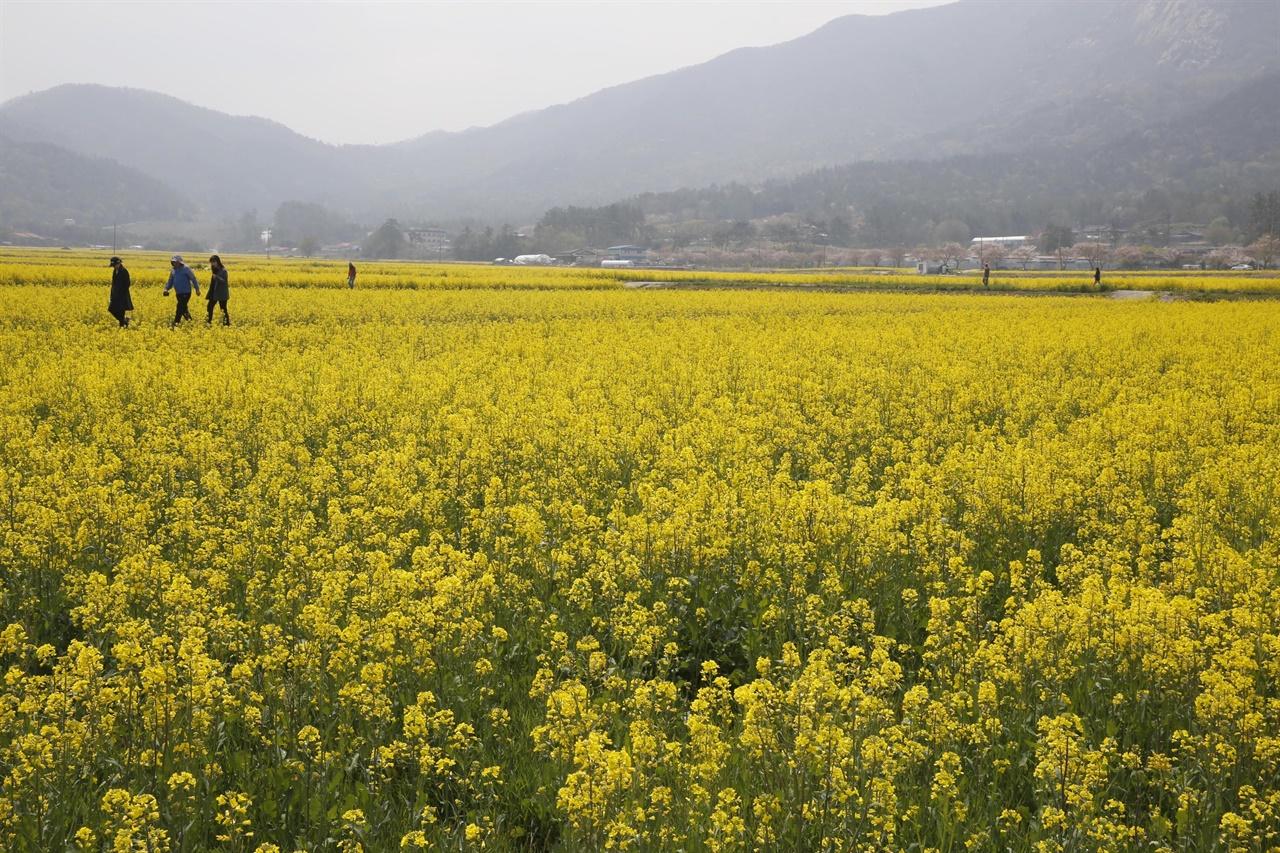 백운동정원으로 가는 길에 만난 월출산 자락 유채밭. 강진군과 영암군에 걸쳐있는 월출산의 천황사 입구에 유채밭이 조성돼 있다.