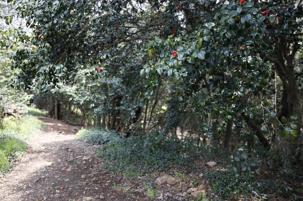 월하마을에서 백운동정원으로 가는 길목. 동백나무가 숲터널을 이루고 있다. 백운동정원은 이 동백숲터널을 지나서 만난다.