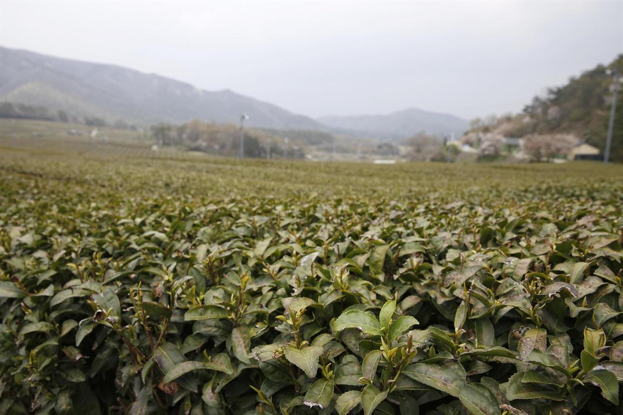 백운동정원과 연결되는 강진차밭 풍경. 곡우를 앞두고 연녹색의 새잎이 하나씩 돋아나고 있다.