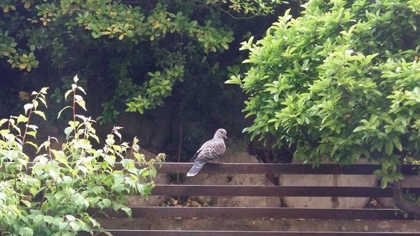 혼란스러운 인간사 아는지 모르는지 비둘기 한 마리가 한가로이 봄날의 망중한을 즐기고 있습니다