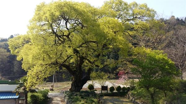 광주 원산동에 있는 왕버드나무에도 여린 새순들이 돋아나고 있습니다