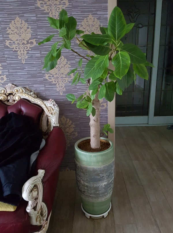 거실에서 키우는 뱅갈 고무나무