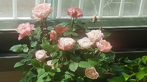 벚꽃을 닮은 장미 집에서 키우기 시작한 장미 화분.