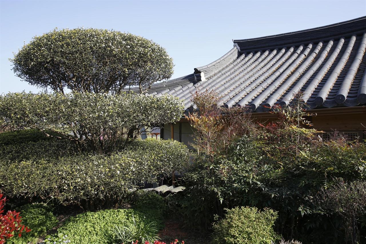 층층이 계단을 이룬 가시나무 고목이 자라고 있는 한옥 마당. 전통의 모평마을에는 오래 된 한옥과 함께 수목으로 아름답게 단장된 마당이 많다.