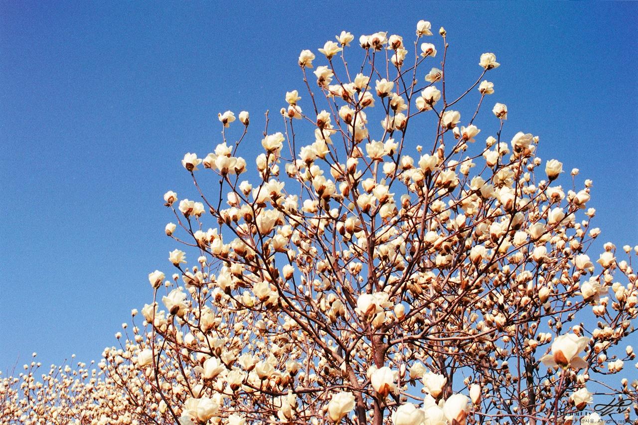 목련과 하늘 (C200) 하얀 목련과 파란 하늘의 대비가 싱그럽다.