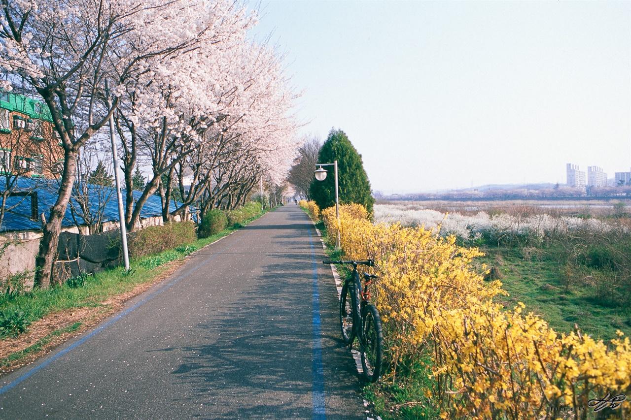 벚꽃과 개나리 (RDP3) 벚꽃과 개나리가 나란히 피어있고 멀리 조팝나무꽃도 보인다.